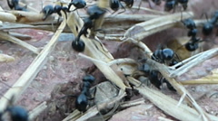 A colony of soldier ants carrying dried grass 4 of 14 Stock Footage