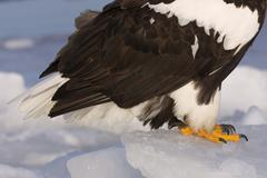 Close-up of Steller's Sea Eagle's Talons Stock Photos