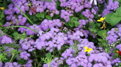 Lavender colored flowers in the garden Stock Footage