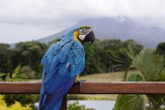 Blue and Yellow Macaw on Railing, Arenal Volcano, Costa Rica - stock photo