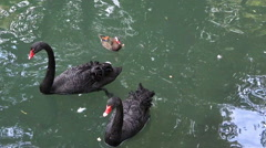 Black swans on a lake Stock Footage