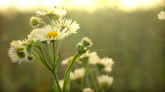 Field Camomiles at Sunset - Close Up Stock Footage