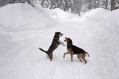 Dogs Playing in Snow Storm - stock photo