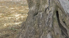 Tree trunk olive Stock Footage