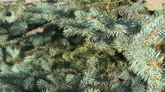 Fir tree branches 4K Stock Footage