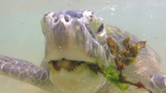Slow motion of turtle being fed seaweed by local man to entertain tourists Stock Footage