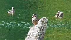 Solitaire wild duck on a log Stock Footage