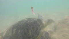 Slow motion of turtle being fed seaweed by local man to entertain tourists - stock footage