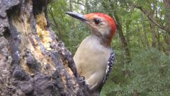 Red-bellied Woodpecker Stock Footage