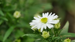 Beautiful White Flowers, 4K Stock Footage