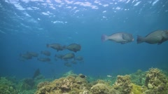Shoal of Humphead Parrotfish Stock Footage