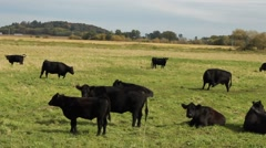 Black Angus cows Stock Footage