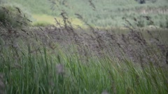 Grain - Grasses blowing gently in wind Stock Footage