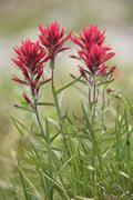 Indian Paintbrush Flower Stock Photos