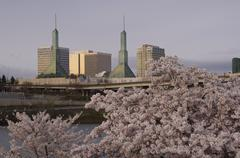 Cherry Blossoms in Spring, Oregon Convention Center in the Background, Portland, Stock Photos