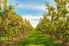 rows of red apple trees - stock photo