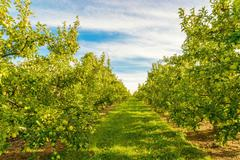 rows of green apple trees - stock photo