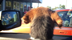 Cute Puppy Dog Waits for Owner Inside Car Stock Footage
