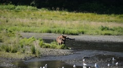 Grizzlies feeding on Migrating Salmon Stock Footage
