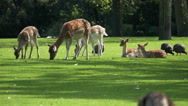 Stock Video Footage of 4K deer grazing on the lawn