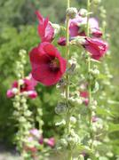 Hollyhocks blooming in Perennial garden - stock photo