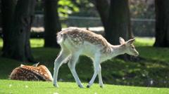 4K Cute young deer in greenery Stock Footage