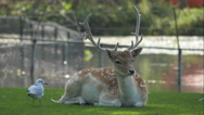 Stock Video Footage of 4K buck deer and a seagull