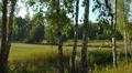 POV. Summer nature landscape, walking among birch trees. Footage