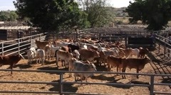 Cattle Cows in Sale Yard Pens Stock Footage