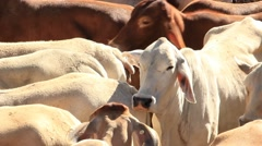 Brahman Beef Cattle Cows Stock Footage