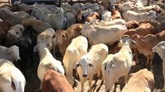 Brahman Beef Cattle Cows in sale yard pen Stock Footage