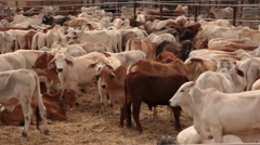 Cattle Cow Livestock in Sale Yard Pens - Pan Stock Footage