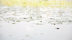 Water lilies on the lake. Stock Footage