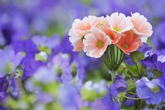 Pink Primroses Amongst Blue Primroses, Bavaria, Germany Stock Photos