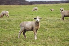 Sheep on Allen Farm, Chilmark, Martha's Vineyard, Massachusetts, USA Stock Photos