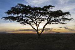 African tree in beautiful sunset - stock photo