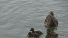 Wild ducks in natural habitat mallard swimming in water with chicks, duck family Stock Footage