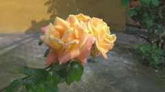 Yellow roses in the garden, romantic flower outdoor, pink color petals, blooming - stock footage
