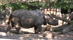 Rhinoceros walking inside an enclosure - stock footage