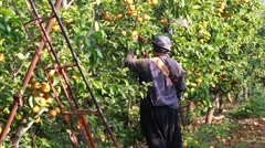 Man picking Nashi  in orchard Stock Footage