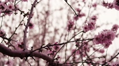 Pink Blossoms In Spain - Tree Branches Stock Footage