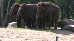 Indian elephants in a wildlife enclosure Stock Footage