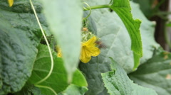 Vegetable garden, cucumber plant, flowers, bee, pollination, organic farm Stock Footage