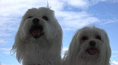 Two Happy Dogs Blue Sky Clouds Stock Footage