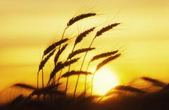 Wheat, Close-Up, Sunset Silhouette - stock photo
