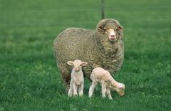 Sheep with Two Lambs Stock Photos