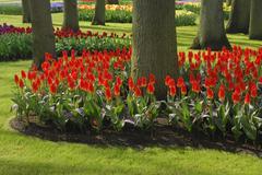 Red Tulips in Bloom, Keukenhof Gardens, Lisse, Netherlands Stock Photos