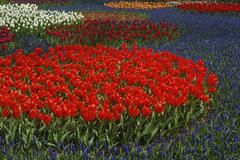 Tulips and Grape Hyacinth in Bloom in Botanical Garden, Lisse, Netherlands Stock Photos