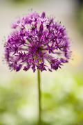 Close-up of Lucy Ball Allium - stock photo