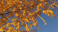 Autumn Ash Tree Stock Footage